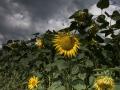 Sonnenblumen007